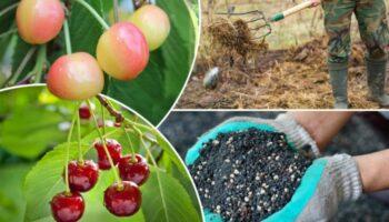 Догляд за черешнею осінню: підготовка до зими і майбутньому врожаю