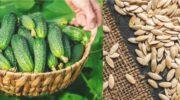 Господині на замітку: заготовлюю свої насіння огірків в серпні, а через рік отримую багатий урожай