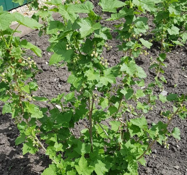 Обрізуйте кущі чорної Смородини моїм методом і отримаєте гарний урожай ягід на наступний рік