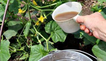 Підживлення огірків на початку серпня – запорука високого врожаю в кінці сезону. Ділюся рецептом з вами