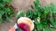 Чим продезінфікувати полуницю після обрізки листя влітку: прості та ефективні обробки