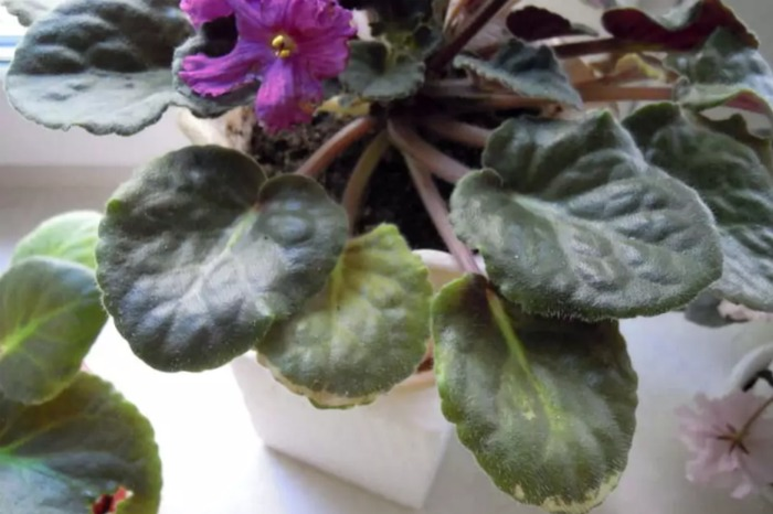 Чому сохнуть листя на улюблених фіалках і що з цим робити: 4 простих методи врятувати квіти