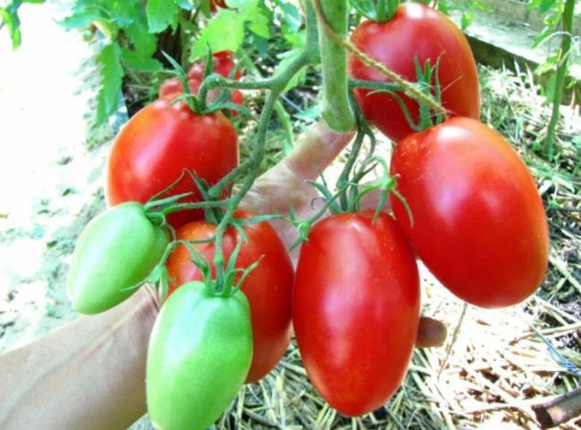 Стійкі до фітофтори сорти помідорів, які я обов'язково посаджу в наступному році