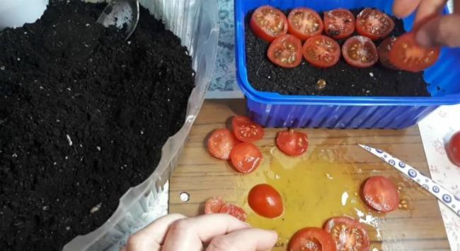 Для багатого врожаю використовую незвичайний метод посадки помідорів на зиму