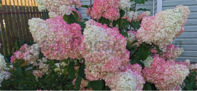 Щоб домогтися пишного цвітіння гортензії, потрібно зробити всього 3 кроки