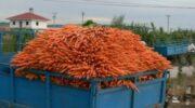 Багатий урожай моркви: як правильно його зберегти і що робити з нестандарт