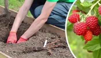 Що потрібно зробити з кущами малини в вересні, щоб отримати гарний урожай в наступному сезоні