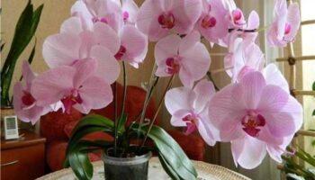 Як зробити так, щоб орхідея почала квітнути та пускати нові стріли