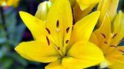 Осіння пересадка лілій: оптимальна температура, підготовка цибулин і лунок