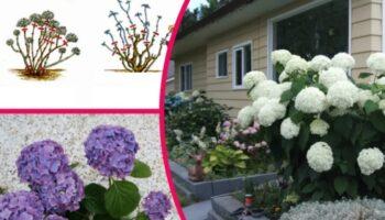 Почала готувати гортензії до зими, щоб в наступному році побачити рясне цвітіння. Розповідаю нюанси