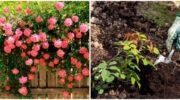 Правила висаджування сусідів троянд, які допоможуть рослинам уникнути хвороб
