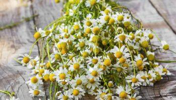 5 рослин, які плутають з ромашкою аптечною (дуже схожі)