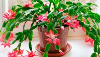 Різдвяник цвіте взимку: що потрібно зробити у вересні, щоб домашня квітка розпустилася до грудня