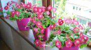 Улюблені петунії можна вирощувати і взимку в звичайних міських квартирах