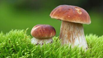 Через скільки днів з'являються гриби після дощу, і як швидко вони ростуть