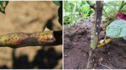 Причини почорніння пагінців на кущах троянди та міри профілактики цього явища