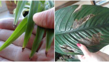 Причини сухості та почорніння кінчиків листя у кімнатних рослин