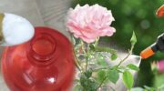 Як за допомогою соди омолодити кущі троянд