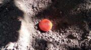Саджу помідори осінню і вам раджу так робити: ніякої мороки з розсадою навесні і врожайність підвищується в рази