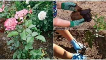 Правила пересадки кущів троянд, щоб вони добре приживалися