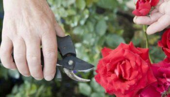 Як підготувати троянди до зими або покрокова інструкція, яку бажано освоїти до жовтня