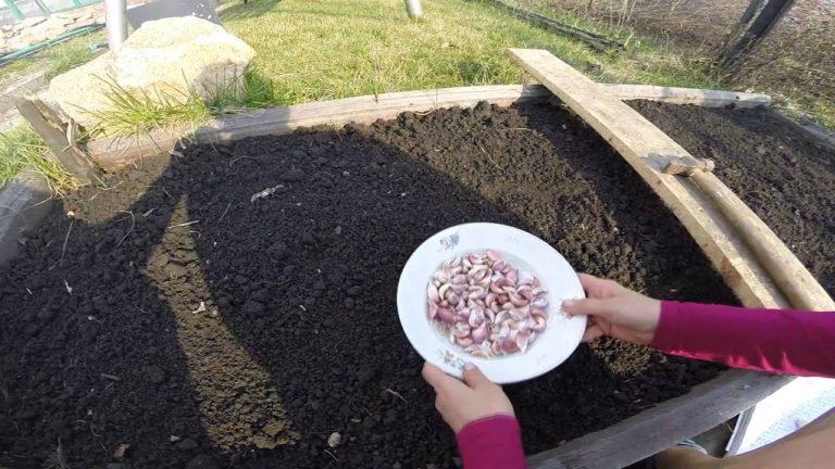 Така посадка часнику осінню гарантує багатий урожай при будь-якій зимі
