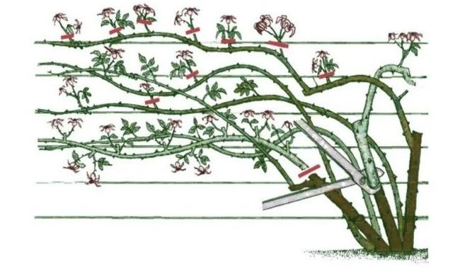 Обрізаю троянду до зими тільки одним методом - кущ оновлюється і розростається краще