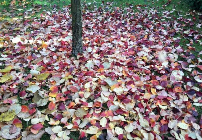 Удобрюйте грушу осінню, щоб допомогти їй підготуватися до зими і отримати багатий урожай смачних плодів в наступному році
