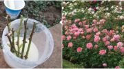 Найпростіший метод осіннього живцювання троянд у відкритому ґрунті