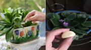 Кладу зубчики часнику в горщики з кімнатними рослинами: розповідаю, навіщо я це роблю