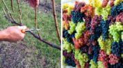Як обрізати виноград в жовтні, щоб зібрати багатий урожай в наступному році