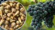 Корисні властивості виноградних кісточок, та чому корисно їх їсти