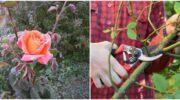 Як доглядати за трояндами в жовтні для того, щоб вони добре квітнули наступного року