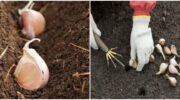 Як висаджувати часник під зиму для отримання гарного врожаю