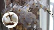 Часник – справжній порятунок для орхідей! Моя квітка зацвіла вже через місяць як ніколи