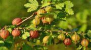 Обрізаємо правильно аґрус осінню: правила, терміни, поради для садівників
