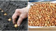 Як правильно восени організувати посадку цибулі-сіянки для отримання гарного врожаю