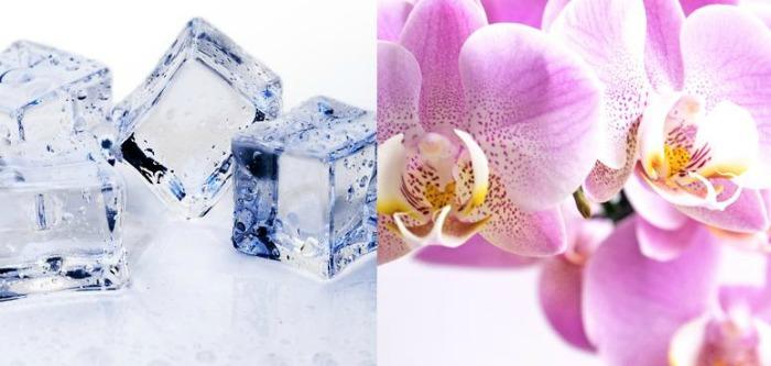 Цінителям орхідей на замітку: замініть воду на лід - простий метод поливу без ризику для рослин