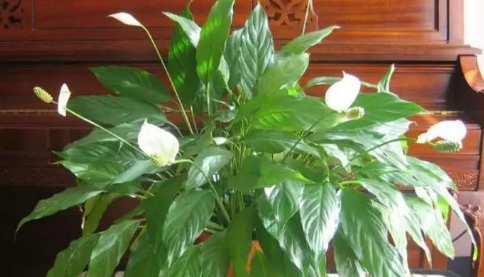 Поливаю «Жіноче щастя» перекисом водню 4 рази за осінь / зиму. Швидко росте і квітне не перестаючи