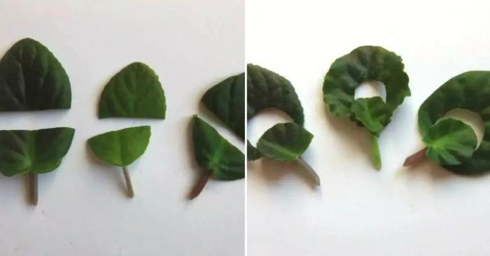 Розмноження фіалок за допомогою листочків: американський метод селекціонерів