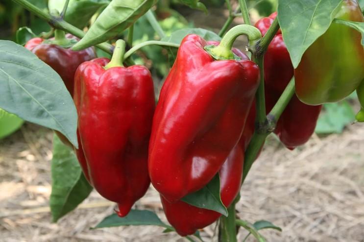 Що не можна робити при вирощуванні Розсади солодкого Перця