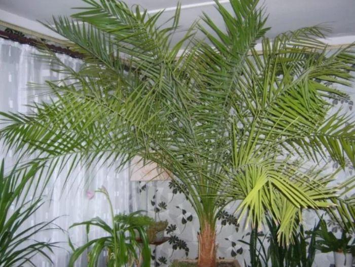 Трохи екзотики в будинку: як виростити фінікову пальму з кісточки