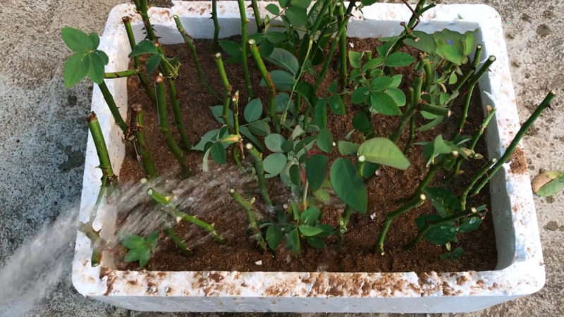 Як укоренити троянди за допомогою піску: простий і ефективний метод