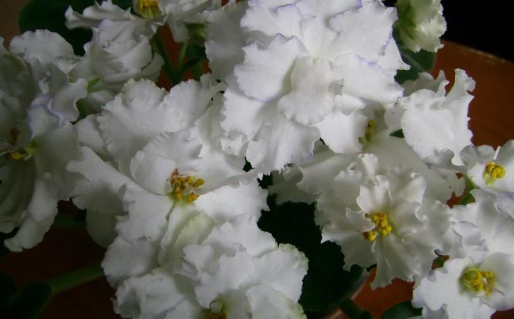 3 простих дії, після яких фіалки у мене цвітуть «шапками» і довго тримають квіти