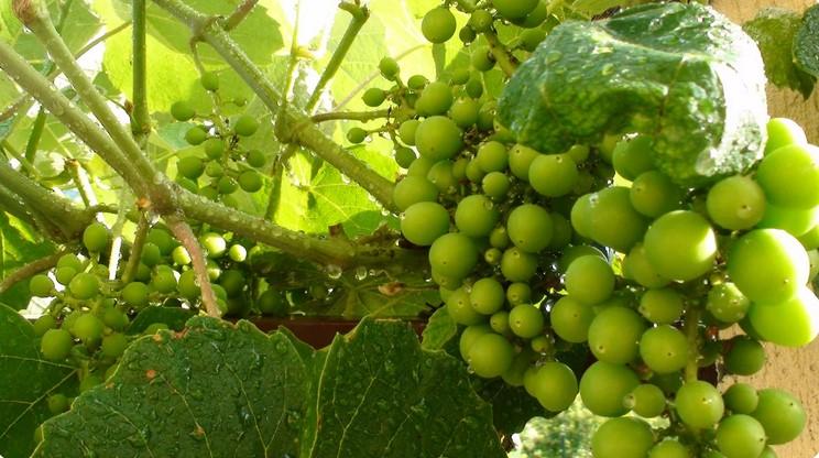 Підживлення винограду - секрет майбутнього врожаю