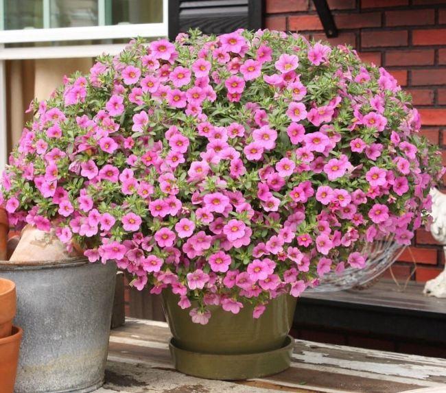 Як перетворити петунію в пишну квітучу кулю, ділюся секретом