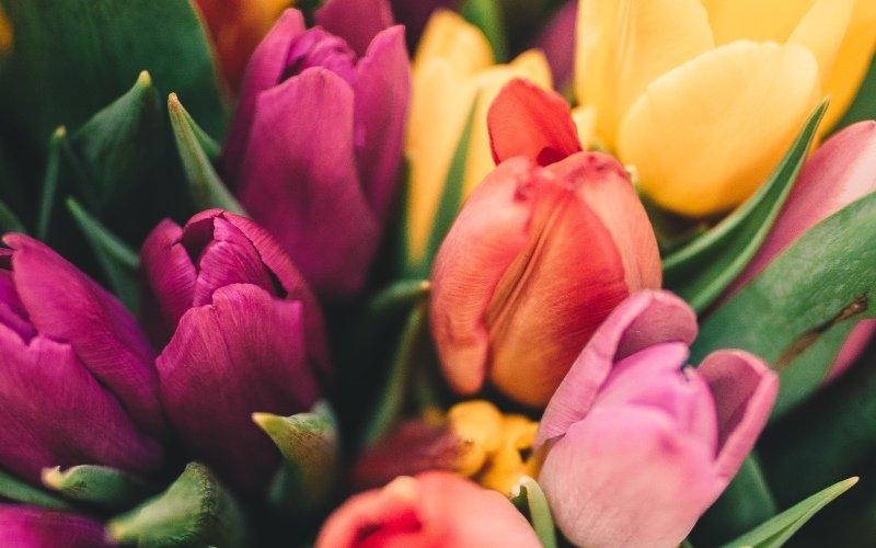 Чому цибулини тюльпанів не повинні сидіти в землі