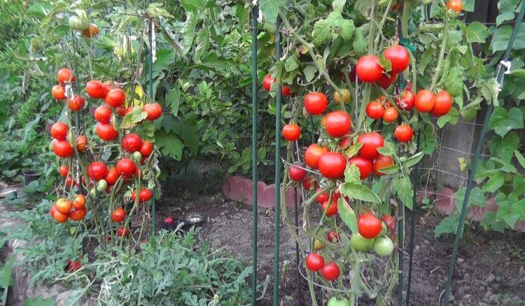 Догляд за помідорами: три правила для багатого врожаю