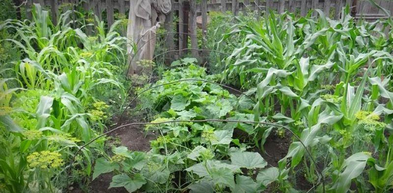 Які рослини садять поруч з огірками щоб вдвічі збільшити їх урожай