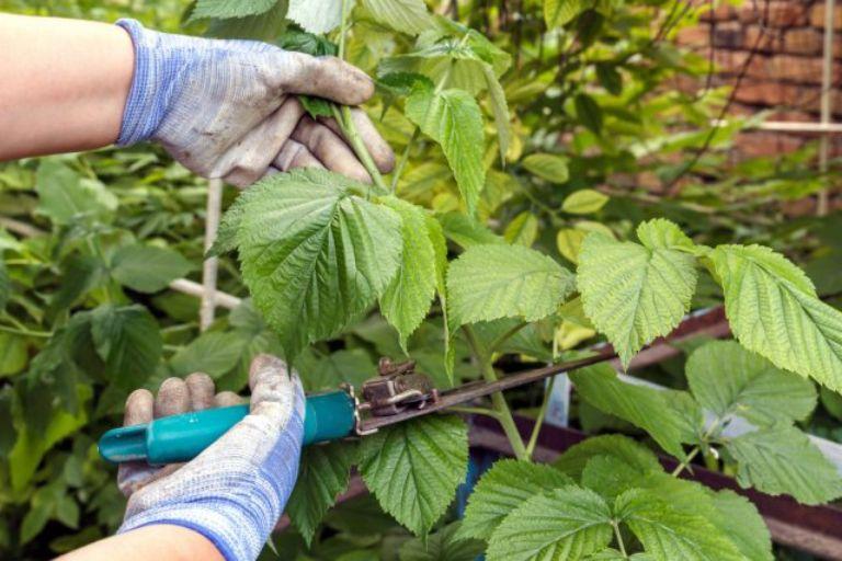 Як правильно доглядати і обрізати малину в червні, щоб підвищити урожай